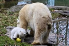 Eisbären Baby 2017